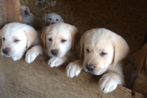 Taney Place Farm Labrador Puppies