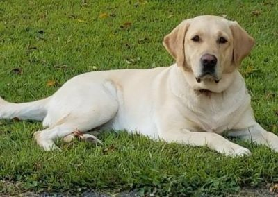 Cami, Female Yellow Labrador