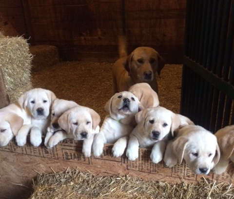 Labrador Puppies at Taney Place Farm