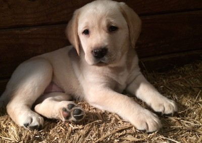 Taney Place Farm Lab Puppy